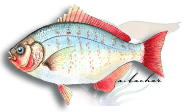 redtail surfperch