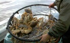 crab in trap