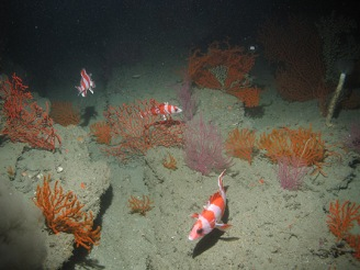rockfish and coral