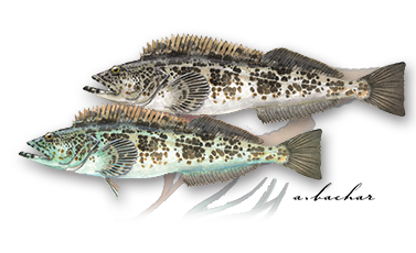 Two color variations of lingcod. The green variation sometimes has turquoise colored flesh, though biologists have yet to determine the cause. The blue-green tint disappears during cooking, and the fish tastes the same regardless of coloration.