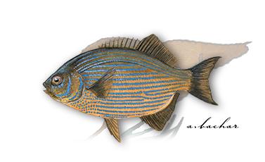 striped seaperch