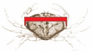 crab measure