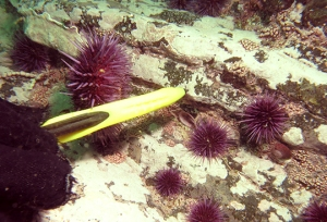 urchins and diver