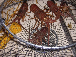 lobster in hoop net