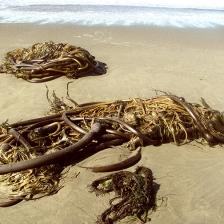 kelp wrack