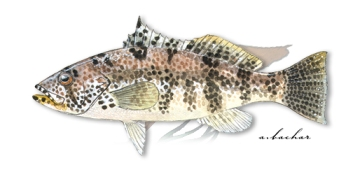 spotted sand bass