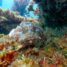 CA scorpionfish