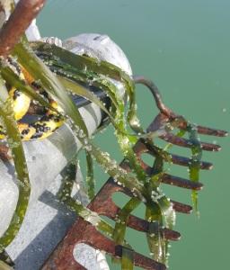 Richardson Bay herring eggs on eelgrass