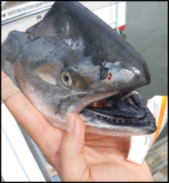 Chinook salmon head removed for lab processing. CDFW photo