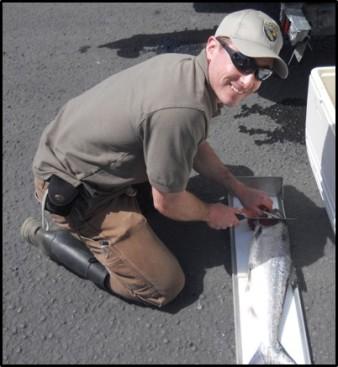 Field crew removes salmon head