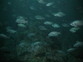 ROV photo of blue rockfish