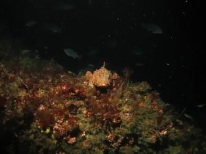 Ca. scorpionfish