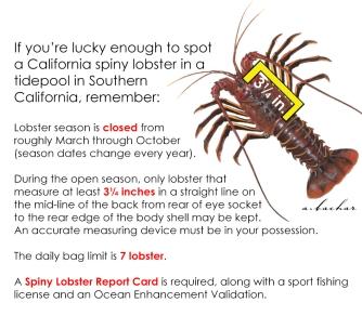 Calif spiny lobster information