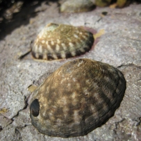 owl limpets