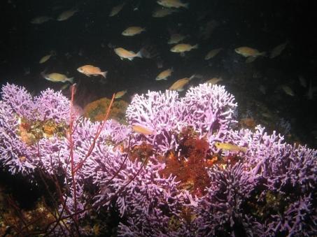 purple hydrocoral