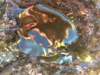 iridescent seaweed