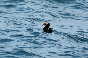 tufted puffin in ocean