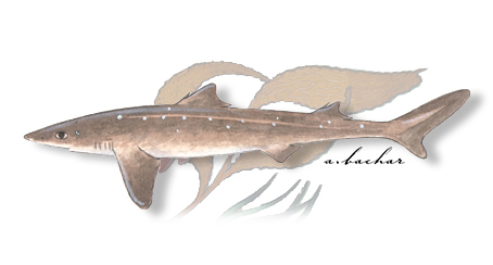 spiny dogfish illustration