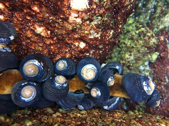 Turban snails feeding on kelp in a tidepool