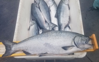 Chinook salmon from the commercial fishery
