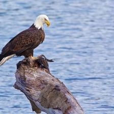 bald eagle at Ten Mile River Estuary