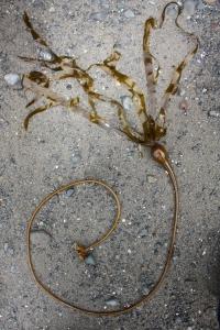 bull kelp on beach