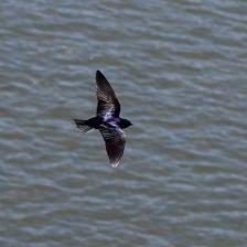 purple martin at Ten Mile River Estuary