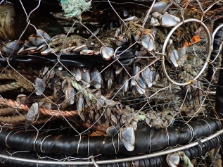 crab trap line with gooseneck barnacles growing on them