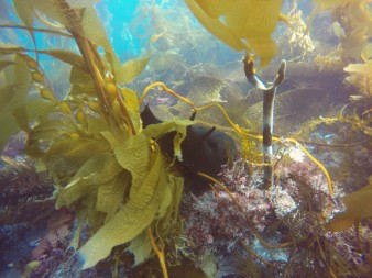 giant kelp and sea hare