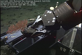 A remotely operated vehicle sampling deep sea corals at the Davidson Seamount. This project was the predecessor of the work presently going on in Carmel Bay and shows how a remotely operated vehicle collects samples. photo by NOAA/MBARI