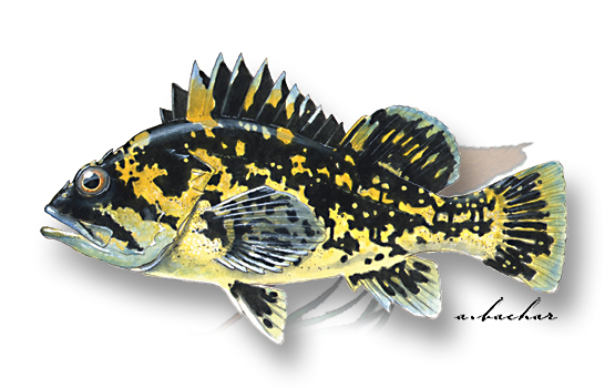illustration of a black-and-yellow rockfish