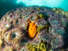 scallop and anemones