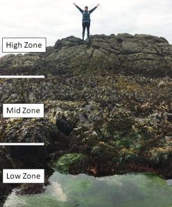 illustration of intertidal zones