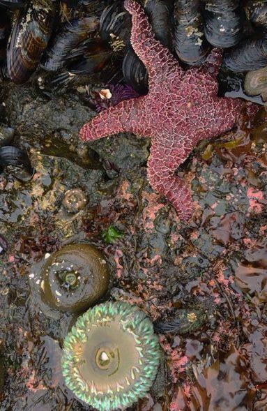 ochre sea star, mussels
